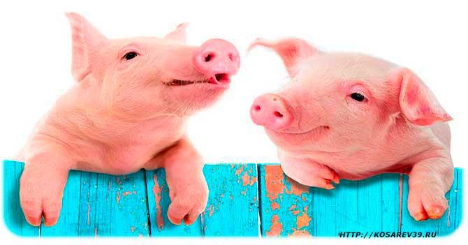 Гороскоп для года свиньи