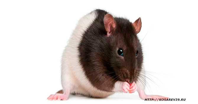 Гороскоп для года крысы