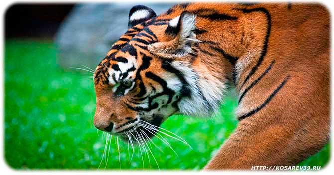 Гороскоп для года тигра