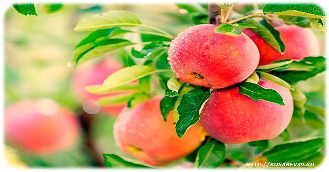 Как вырастить яблоки