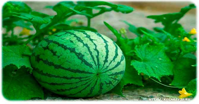 История происхождения арбуза