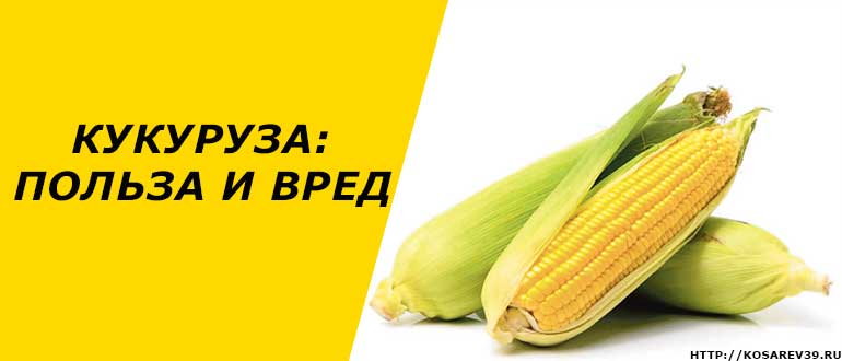 Чем полезна свежая кукуруза