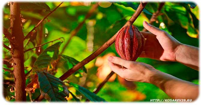 Описание какао