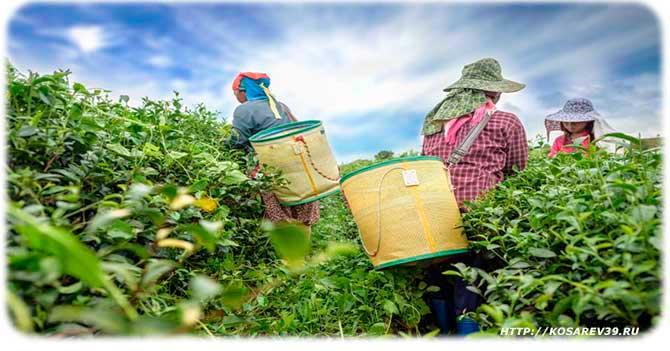 Где выращивают чай