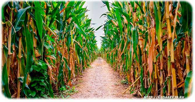 Где зародилась кукуруза