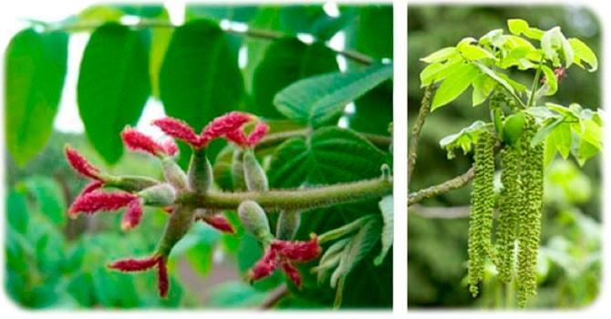Цветение маньчжурского ореха
