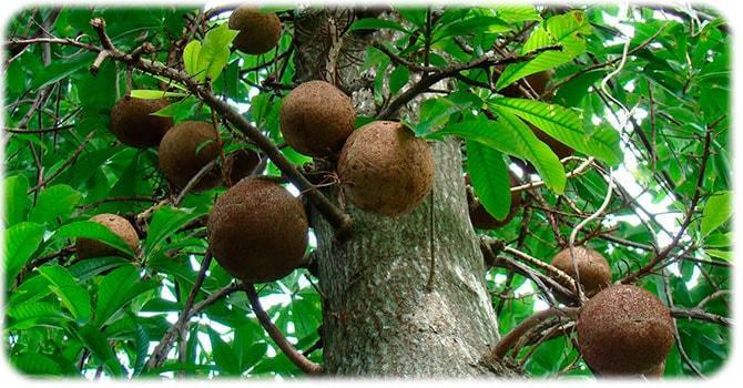 дерево Бертолетия