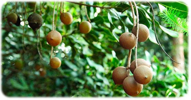 Дерево макадамия
