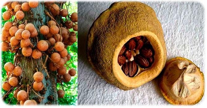 Фото бразильского ореха