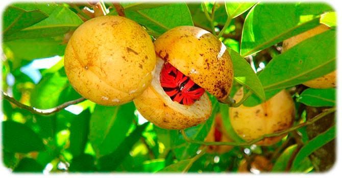 Дерево мускатного ореха