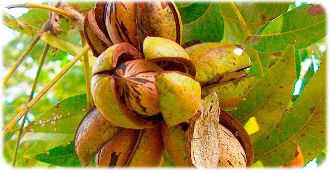 Вредные свойства ореха пекан