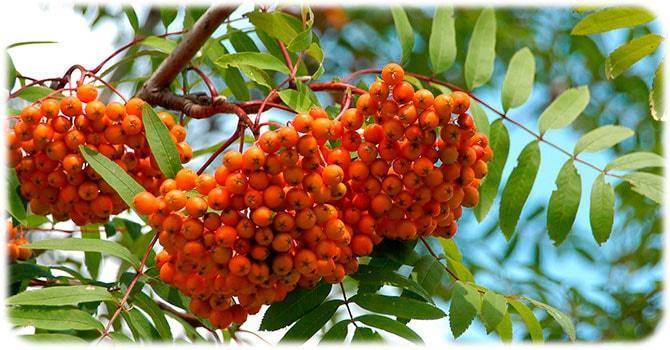Дерево рябины красной