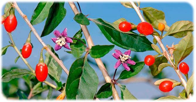 ягоды годжи для похудения как принимать при похудении сушеные