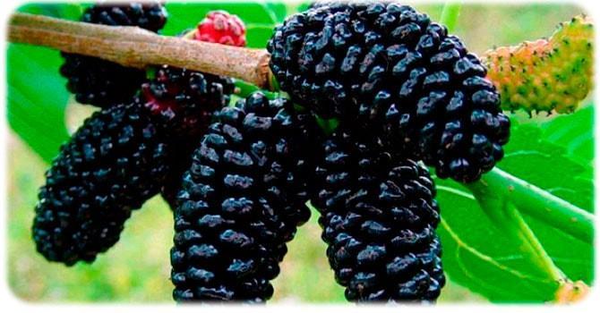 Шелковица: фото ягод