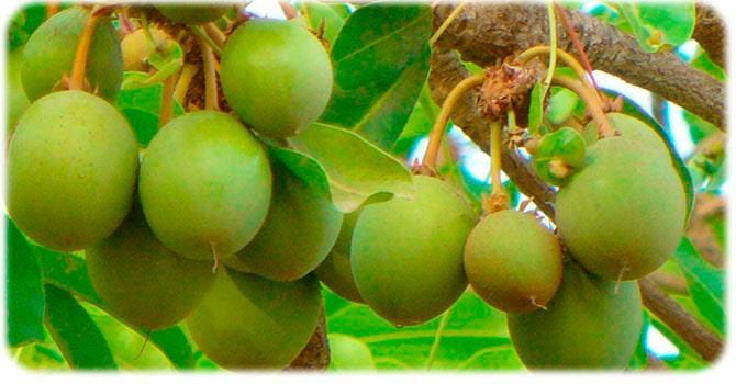 Масло дерева Ши: все о свойствах и применении