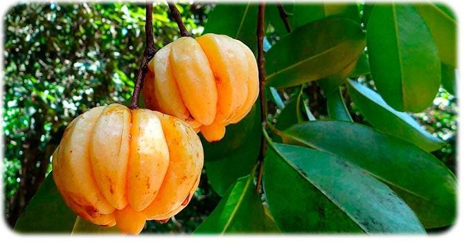 Плоды Гарцинии индийской