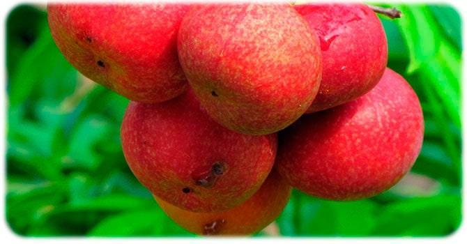 Плоды кокума