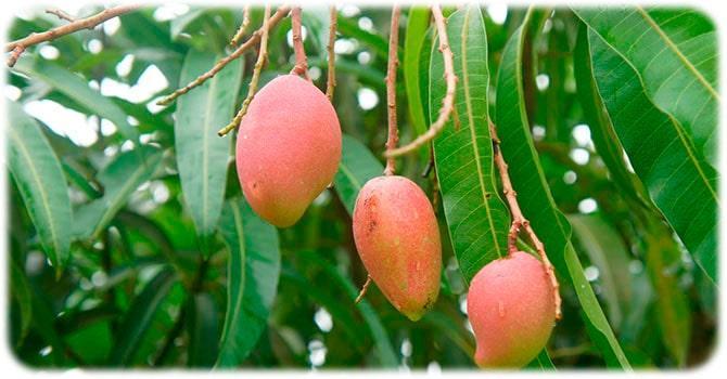 Растение плодов манго