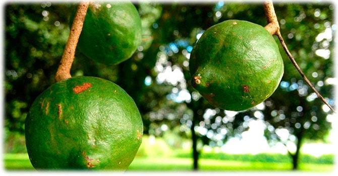 Дерево макадамии