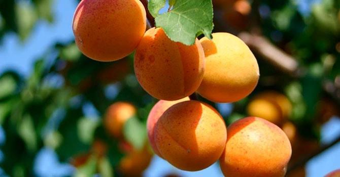 Растение абрикос