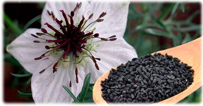 Растение черного тмина