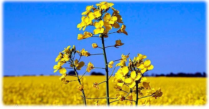 Растение канола