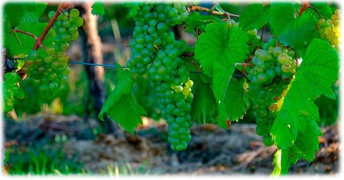 Растение винограда