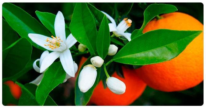 Цветки апельсина
