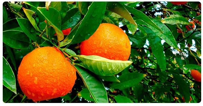 Дерево апельсина
