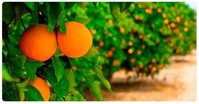Дерево с апельсинами