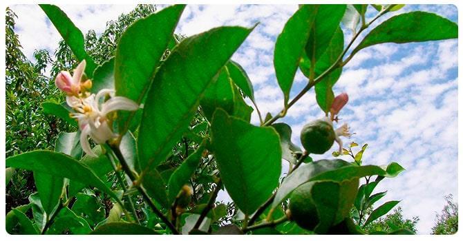 Листья апельсина