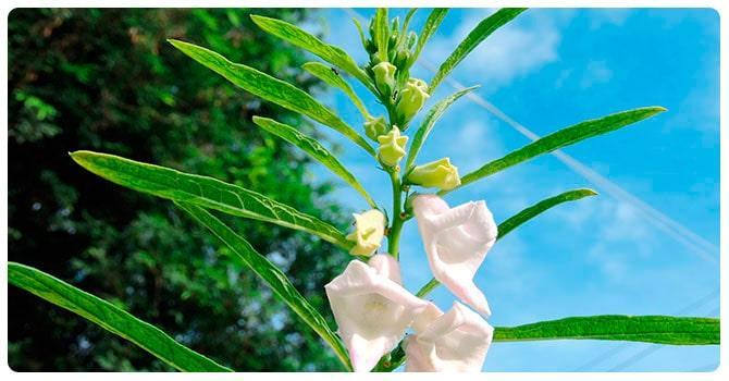 Растение сезам