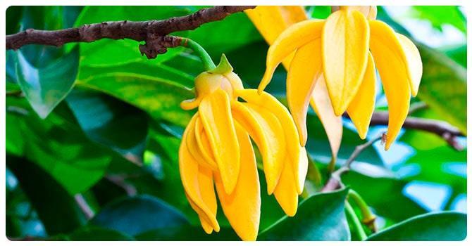 Цветок иланг иланг