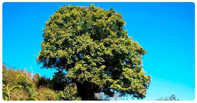 Фото чайного дерева
