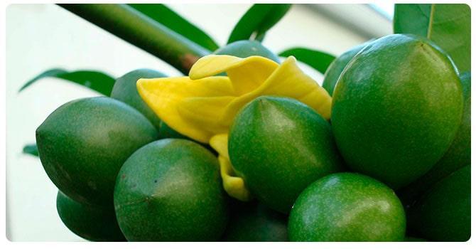 Плоды иланг иланг