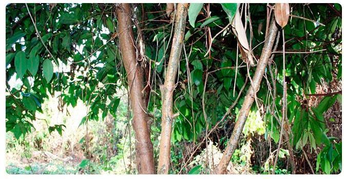 Дерево корицы