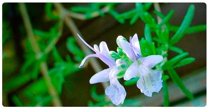 Растение пачули