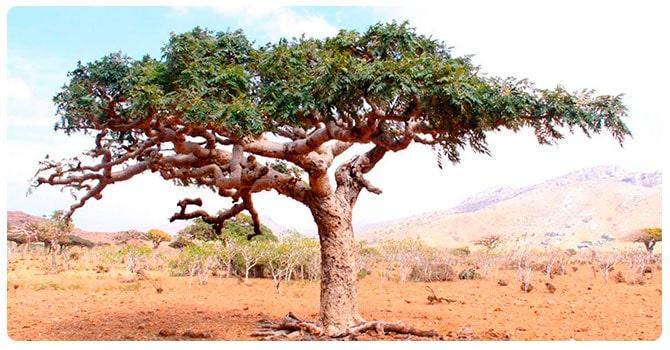 Дерево Босвеллия