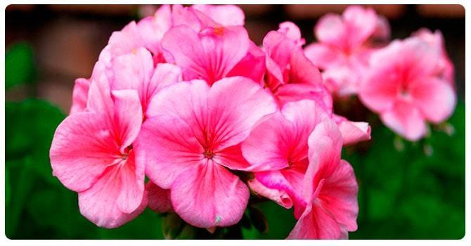 Цветки герани
