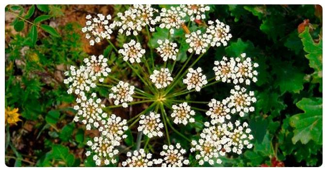 Растение анис
