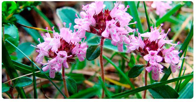 Растение чабрец